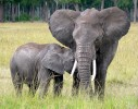 Mother and baby elephant - Mara 1 @ Flickr