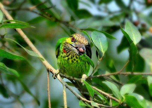 Asian Barbet - Somchai Kanchanasut @ Fotopedia