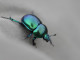 Earth dung beetle - gbohne