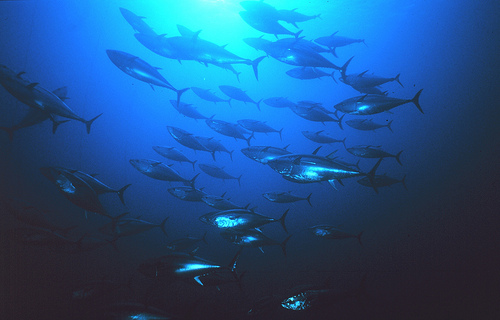School of Tuna - FAO - Danilo Cedrone