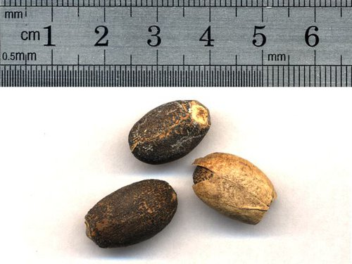Seed jatropha curcas - Wikimedia Commons