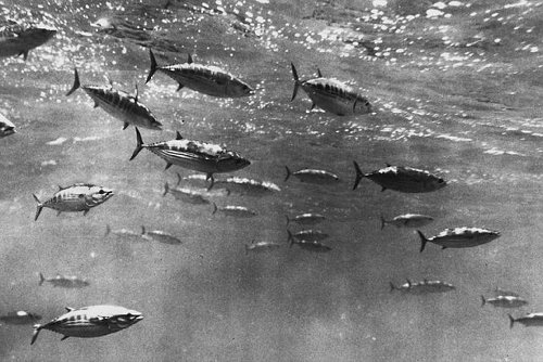 Skipjack tuna shoal - Wikimedia Commons