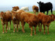 Beef cattle - John Comloquoy