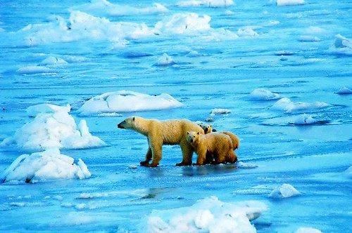 Polar bears on ice - Ansgar Walk