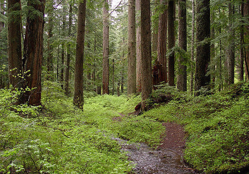Creek and old-growth forest-Larch Mountain - Wikimedia Commons