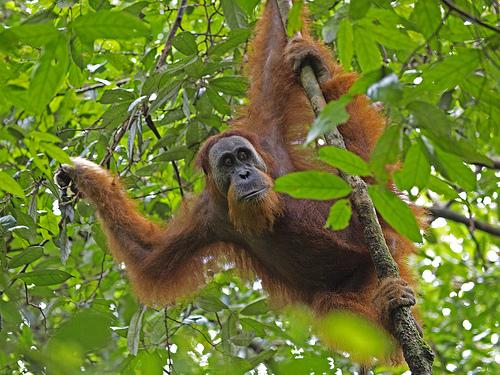Sumatran orangutan - Lip Kee