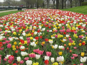 Tulips at Buckingham Fountain - Marmstrong21