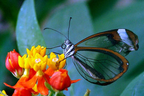 Butterfly transparent - Achim