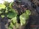 tanaman katang yang muncul lagi setelah tertutup pasir