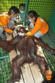 Orangutan - COP