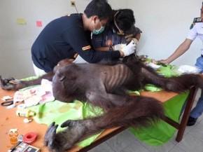 Orangutan korban konflik - COP