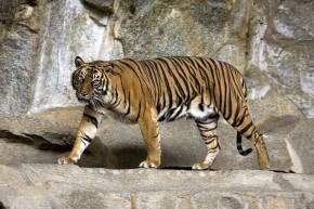 Sumatran Tiger Berlin Tierpark - Captain Herbert - Wikipedia