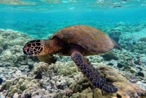 Green turtle swimming - Brocken Inaglory - Wikipedia