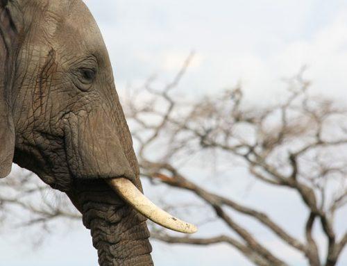 WWF: Hukum Pelaku Penyelundupan Gading di Nunukan