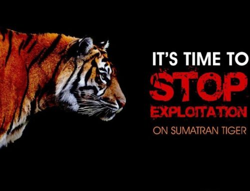 Tegaskan Komitmen Lindungi Harimau Sumatera
