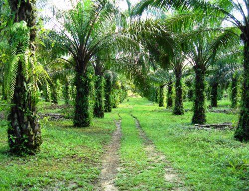 Ada 1 Juta Hektar Perkebunan Sawit di Hutan Alam Primer