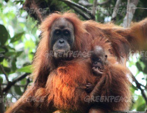 Baru Ditemukan, Orangutan Tapanuli Terancam