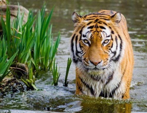 Menyelamatkan Harimau, Selamatkan Lingkungan