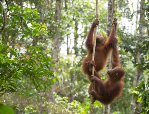 Orangutan Numbers Still in Decline Despite Government's Claims