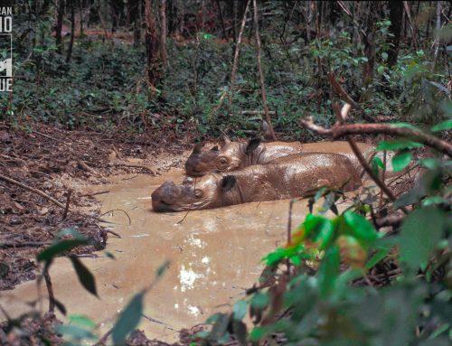 Aliansi Internasional Selamatkan Badak Sumatera