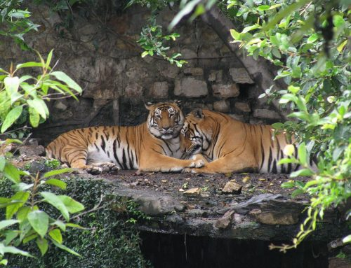Nepal Set to Double Wild Tiger Population