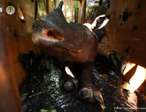 Indonesia Berhasil Relokasi Badak Sumatera yang Terancam Punah