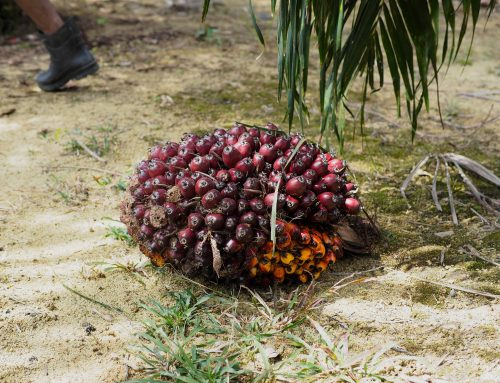 Better Forest Governance Key to Palm Oil's Sustainability