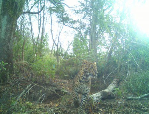 10 Macan Tutul Jawa Terdeteksi di Guntur Papandayan